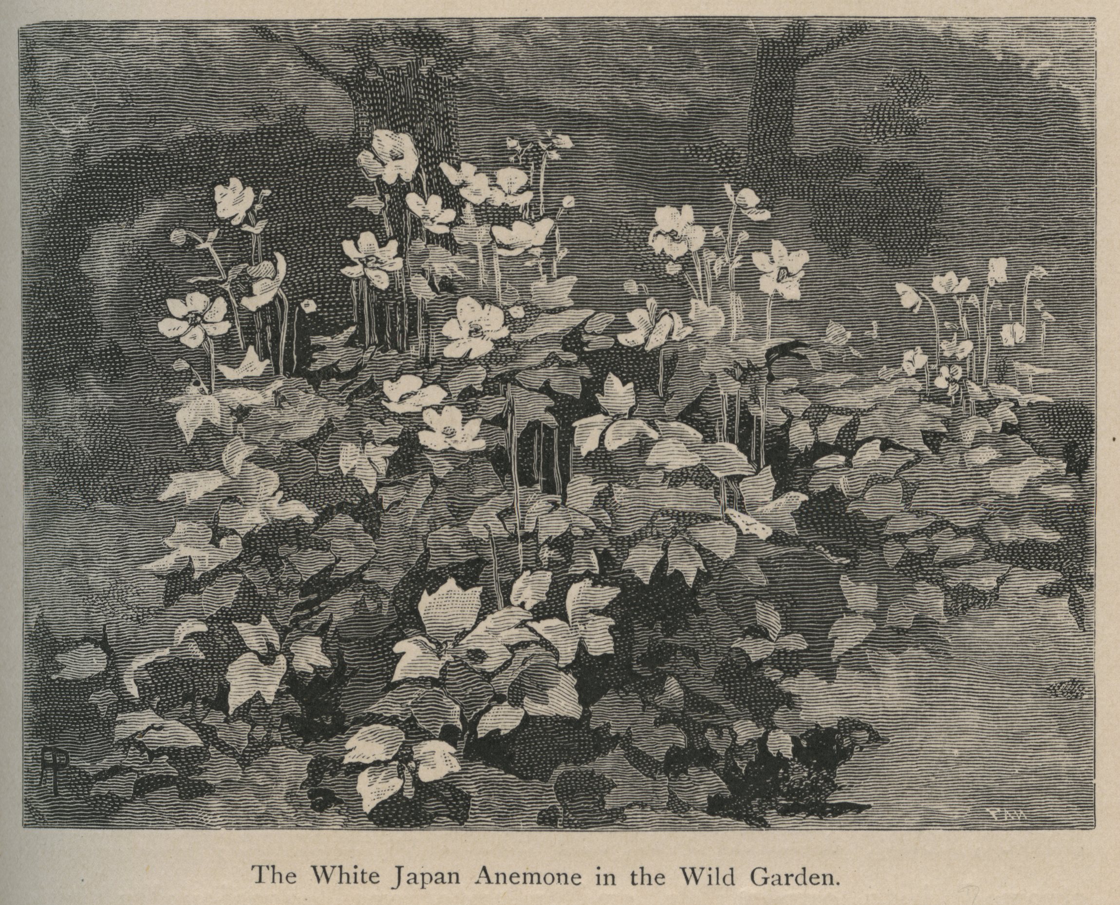 This illustration of a Japanese anemone in Robinson's The Wild Garden appeared later in American seed catalogs.