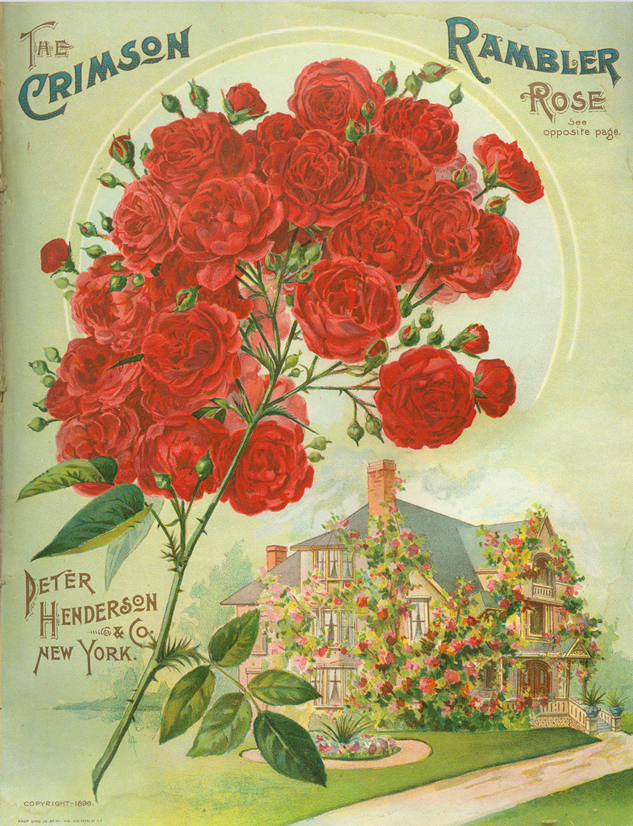 Peter Henderson illustrated here in his 1896 catalog how the 'Crimson Rambler' rose would easily fit in a suburban American home landscape. In this image he encouraged the lawn with its flowerbed. Courtesy of the Bailey Hortorium, Cornell University, Ithaca, NY.