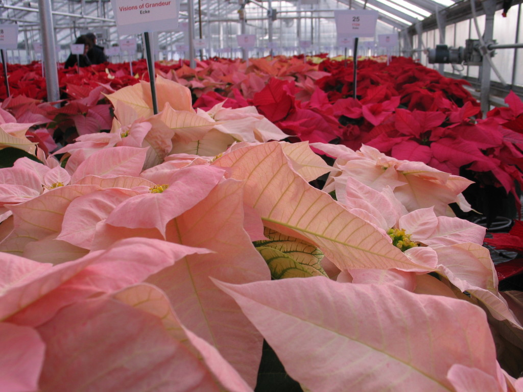 The December show of Poinsettias at UNH Durham, NH