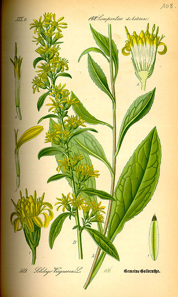 Solidago virgaurea [Courtesy Wikipedia]