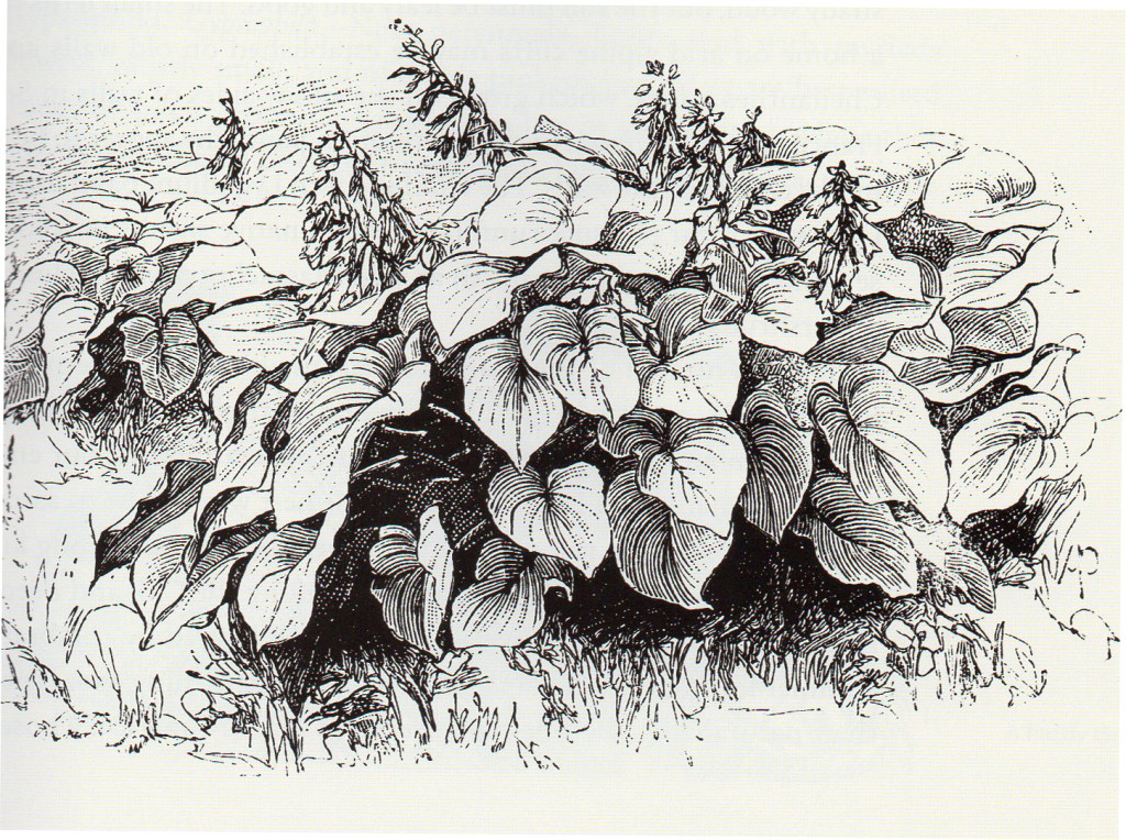 An illustration from The Wild Garden, 1870