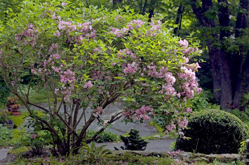 This Weigela grows right outsdie my front door. [photo by Ralph Morang]