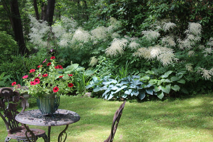 A row of Aruncus in bloom takes center stage in my garden in NH.