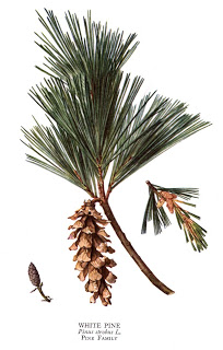 White Pine [courtesy of the RECOLLECTING NEMASKET blog]