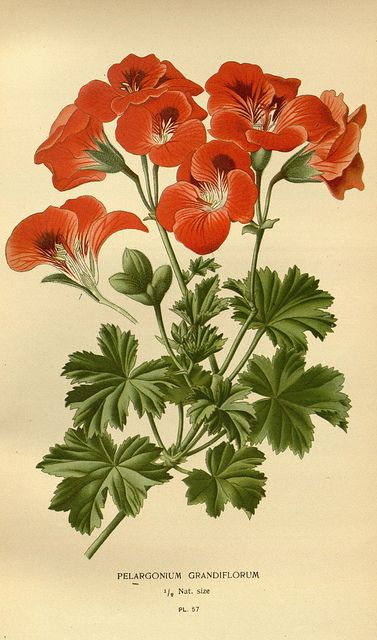 Pegargonum [Courtesy of the Biodiversity Heritage Library]
