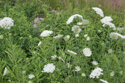 Queen Anne's Lace growing along a fence
