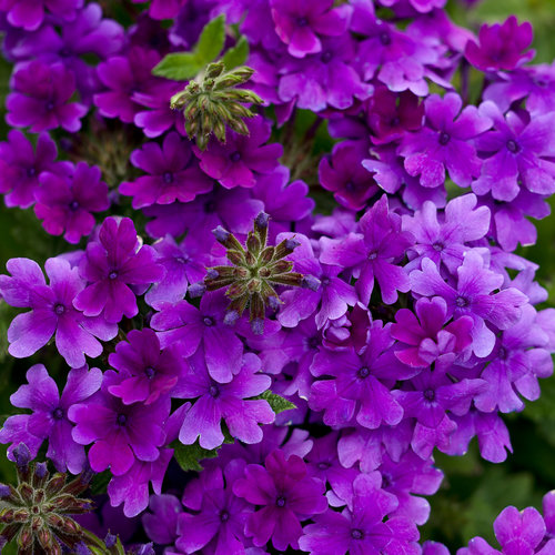 Proven winners dark blue superbena vareity of verbena, a hybrid.