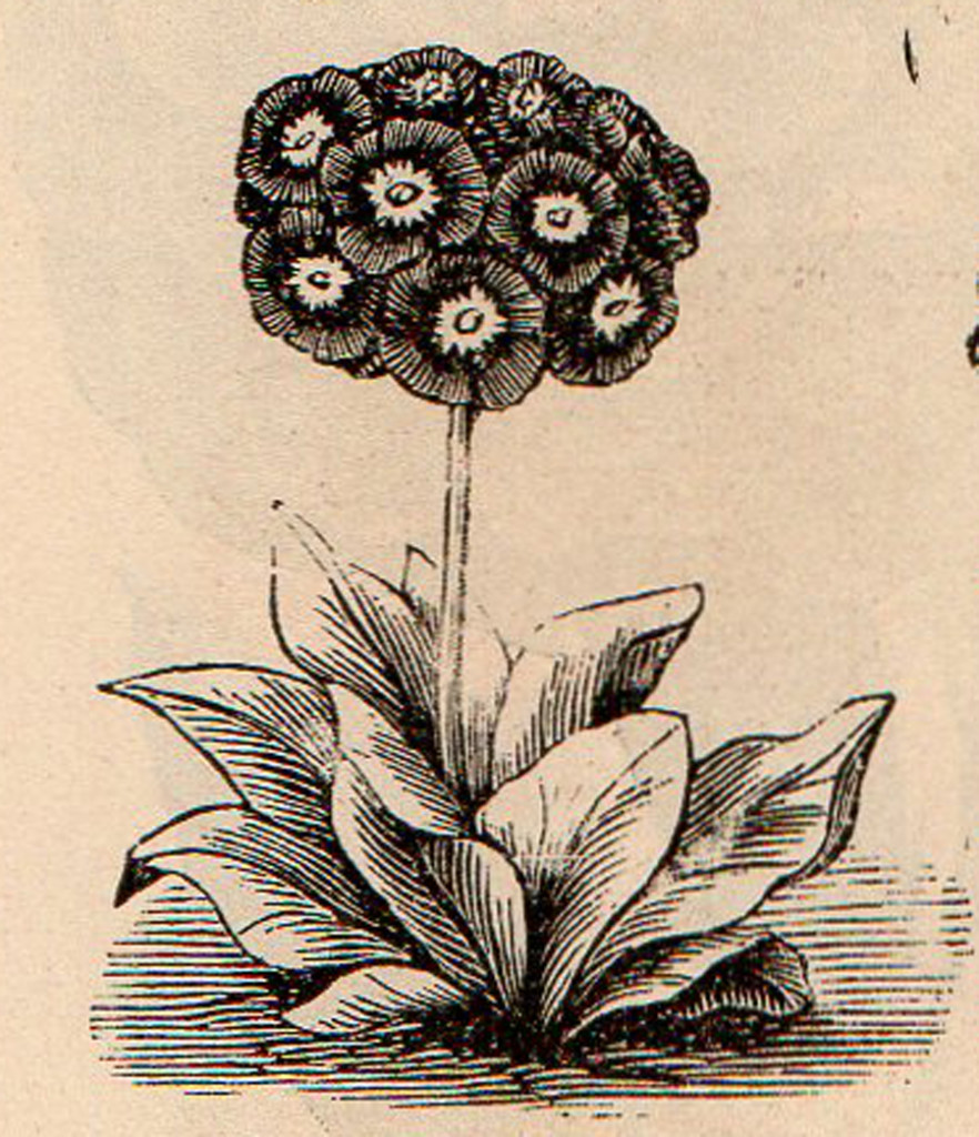 Primrose from Vick 1874