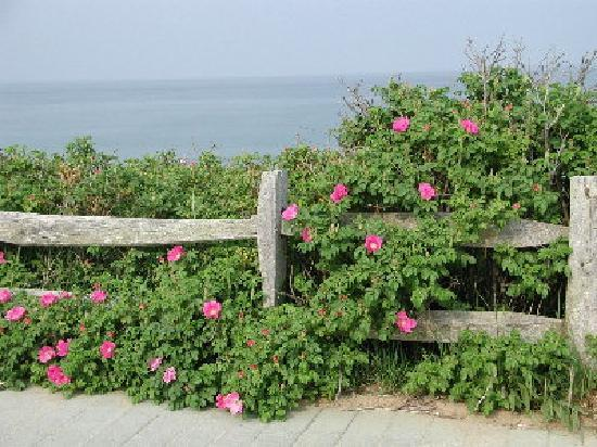 Rosa rugosa, courtesy of TripAdviser