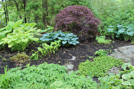Ledge in my garden has provided a setting for a rock garden, which here includes hostas and a Japanese maple.