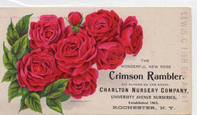 Tradecard for the Crimson Rambrle Rose