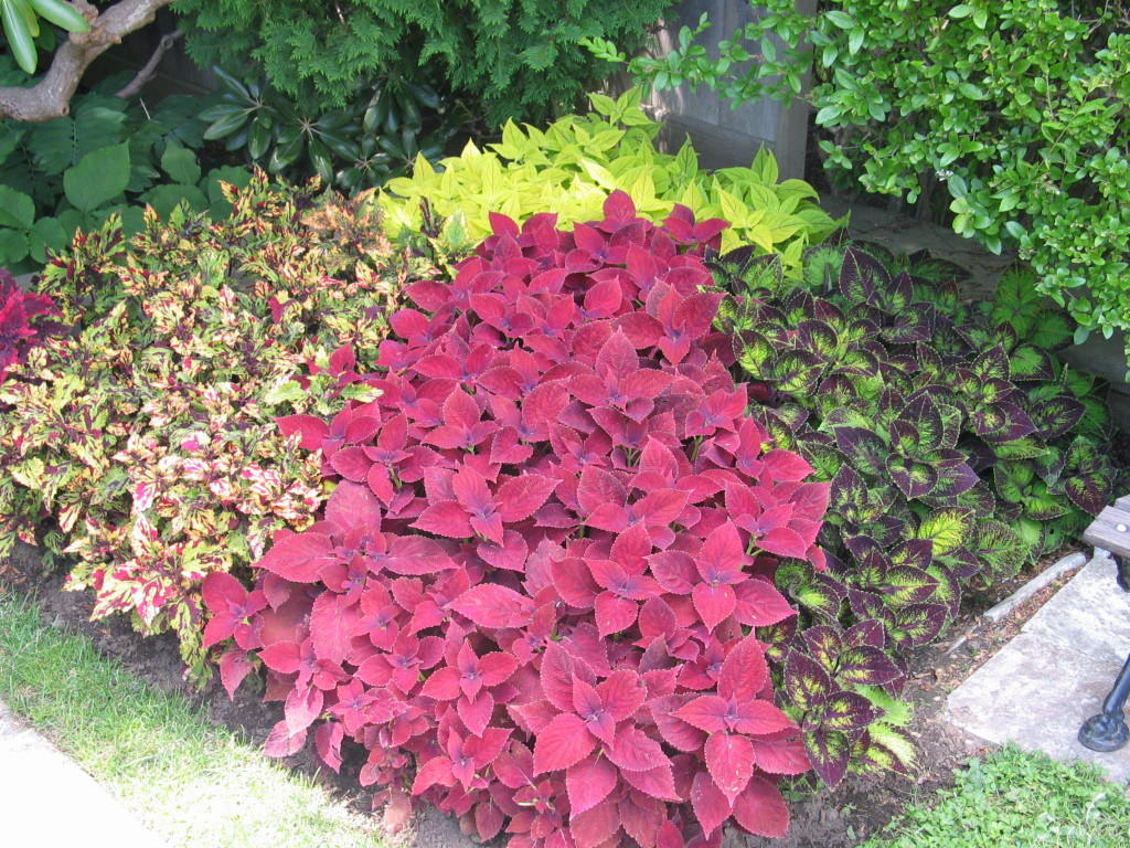 Mass planting of coleus in several differnt colors at Fuller Gardens, North Hampton, NH
