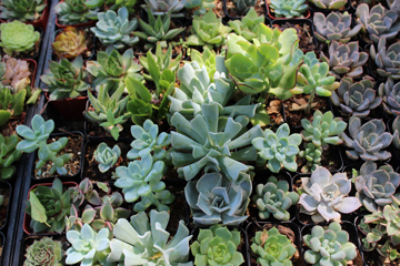 Succueltns plants for sale at the XX Garden in Reno.