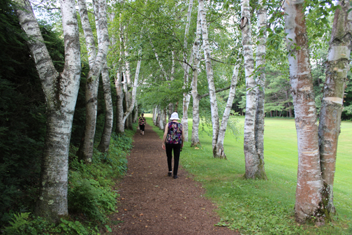 Alley of birch trees at the garden of Saint Gaudens