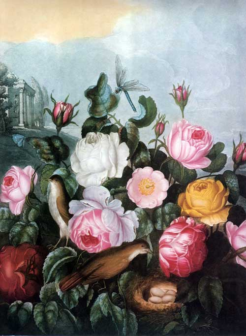 Cabbage Rose by Robert John Thornton from Temple of Flora