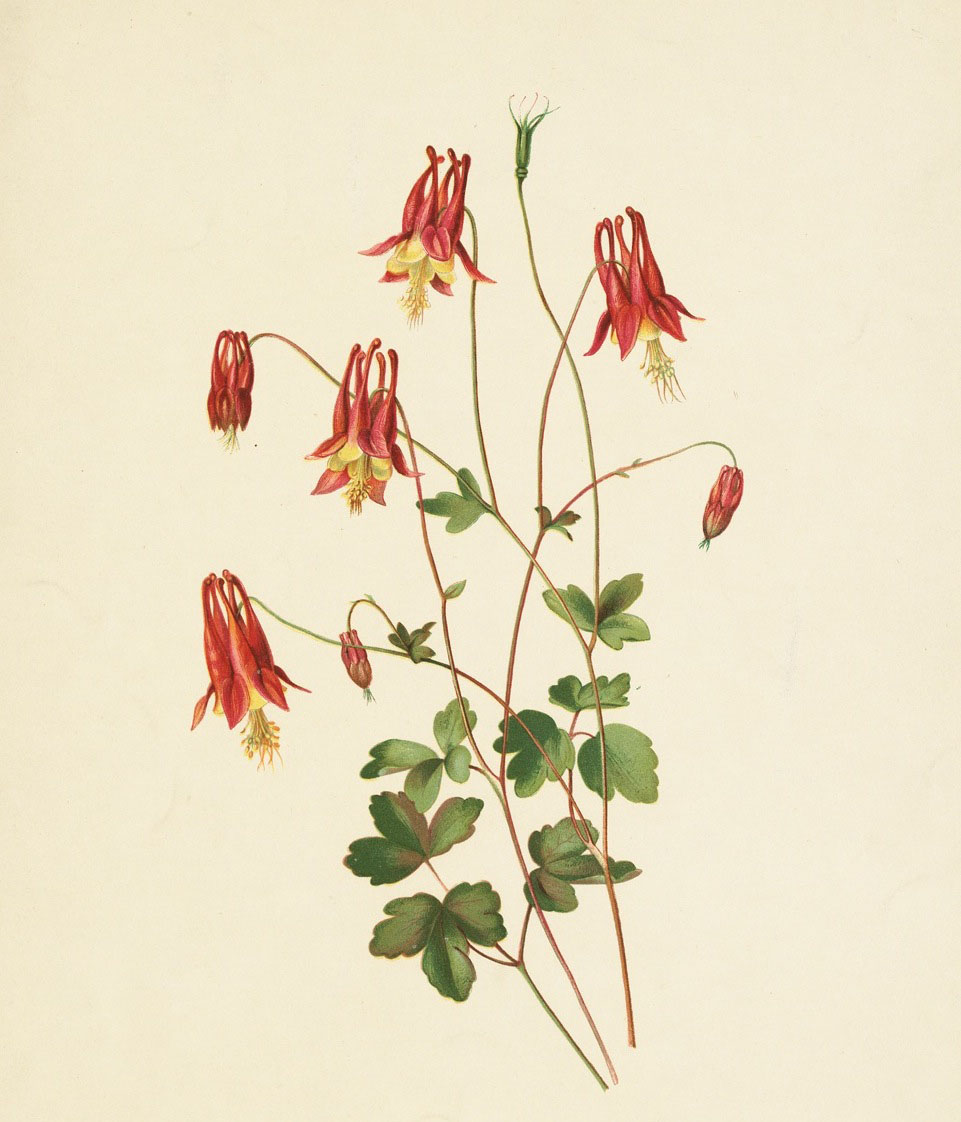 Isaac Spague's Wild Columbine (1882), Part Of The Mhs' Digital Collection