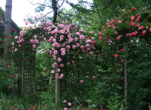 Rose garden in Alfred, Maine