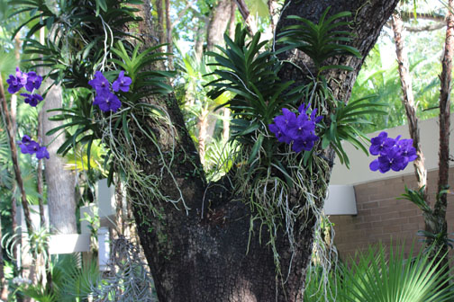 In this Florida front yard you can see orchids on this tree