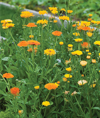 Calendula [courtesy Burpee Seeds]