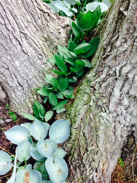 Lily of the valley, growing with blue hosta, between two trees in my garden.