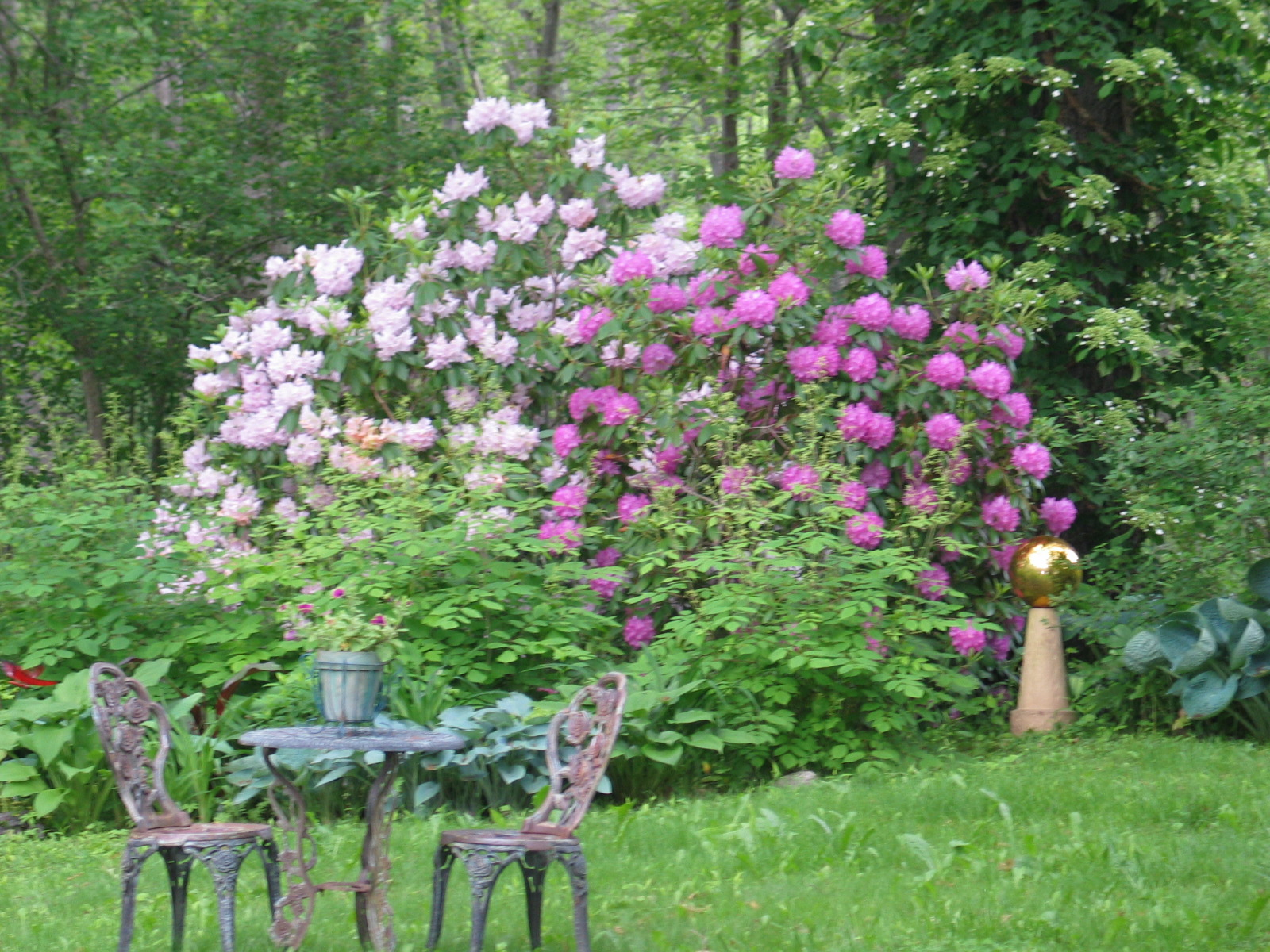 Two rhododendrons blooming in my garden