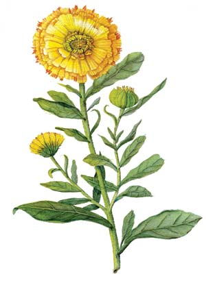 Calendula, Mother Earth Living