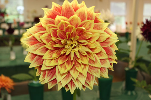 dahlia-ketsup-and-mustard