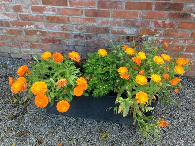 Calendula at the Garden at the Battle of Boyne site in Ireland